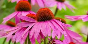 Самый известный иммуностимулятор растительного происхождения – эхинацея пурпурная