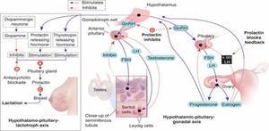 Поячему повысился пролактин