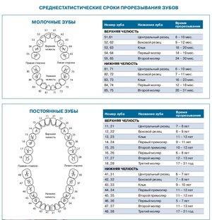 Схема прорезания первых зубов